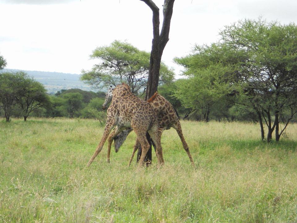 Giraffes Fighting Gif Giraffes fighting in Tarangire