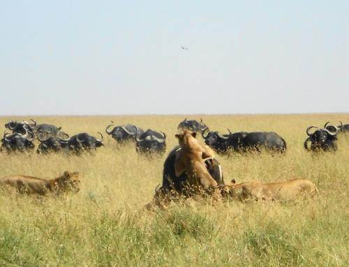 High Drama on the Serengeti Plain