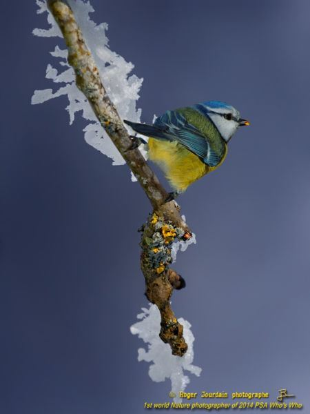 BLUE TIT AND ICE