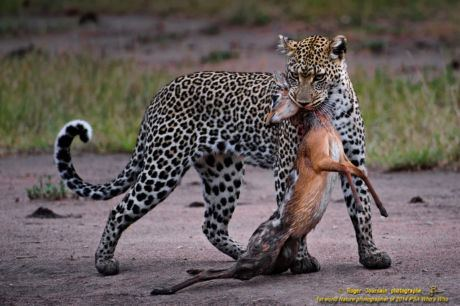 LEOPARD AND DIKDIK No1_ND