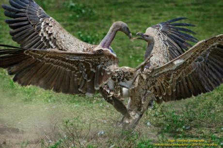 RUPPELL VULTURES FIGHTING_ND