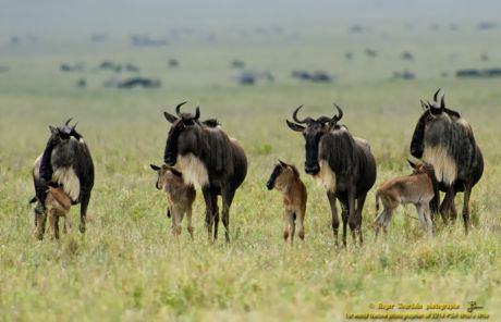 WILDEBEEST AND BABIES_ND