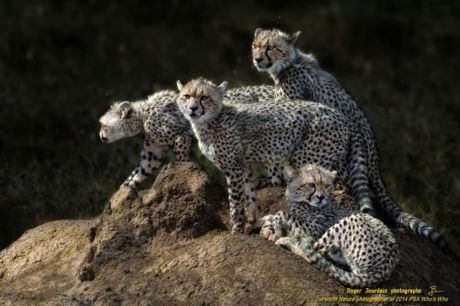 Young Cheetahs Serengeti_ND