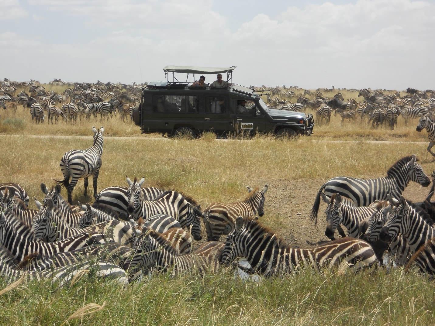 A long-wheel base Land Cruiser, stuck in a zebra-jam in central Serengeti!